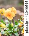ビオラ 花 アップの写真 41040646