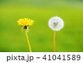 フラワー 花 タンポポの写真 41041589