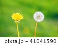 フラワー 花 タンポポの写真 41041590