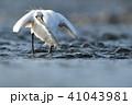 コサギ 1羽 鳥の写真 41043981