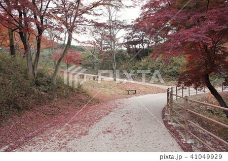 秋の公園の紅葉、もみじ 41049929