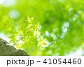 楓 新緑 春の写真 41054460