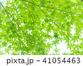 楓 新緑 春の写真 41054463