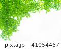 楓 新緑 春の写真 41054467