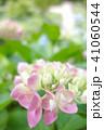 植物 自然風景 梅雨 アジサイ アヤメ 41060544
