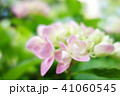 植物 自然風景 梅雨 アジサイ アヤメ 41060545
