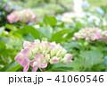 植物 自然風景 梅雨 アジサイ アヤメ 41060546