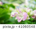 植物 自然風景 梅雨 アジサイ アヤメ 41060548