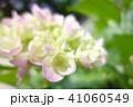 植物 自然風景 梅雨 アジサイ アヤメ 41060549