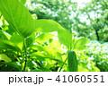 植物 自然風景 梅雨 アジサイ アヤメ 41060551