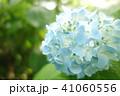 植物 自然風景 梅雨 アジサイ アヤメ 41060556