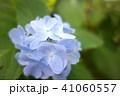 植物 自然風景 梅雨 アジサイ アヤメ 41060557