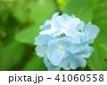 植物 自然風景 梅雨 アジサイ アヤメ 41060558