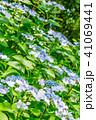 紫陽花 あじさい 植物の写真 41069441