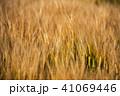 麦 麦畑 農作物の写真 41069446