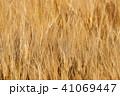 麦 麦畑 農作物の写真 41069447