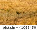 麦 麦畑 農作物の写真 41069450