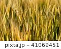 麦 麦畑 農作物の写真 41069451