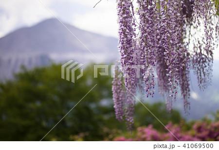 武甲山と藤 41069500