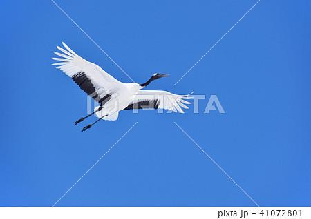 青い空を飛ぶタンチョウ(北海道・鶴居) 41072801