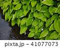植物 葉 ドクダミの写真 41077073