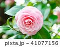 椿 ピンク 乙女椿の写真 41077156