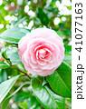 椿 ピンク 乙女椿の写真 41077163