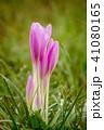 コルチカム お花 フラワーの写真 41080165