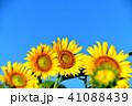青空 花 向日葵の写真 41088439