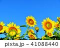 青空 向日葵 夏の写真 41088440