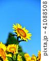 青空 花 向日葵の写真 41088508