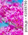 ミツバツツジ ツツジ 植物の写真 41089790