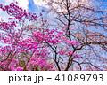 富士桜 ミツバツツジ 桜の写真 41089793