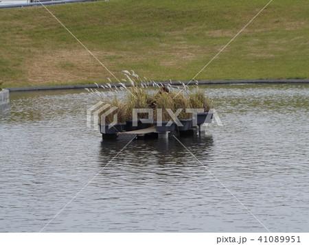 習志野市サクラ広場のカルガモ池の巣箱 41089951