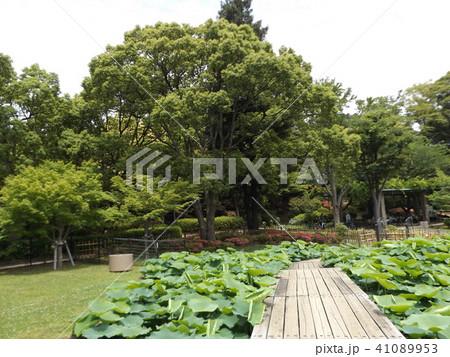 千葉公園オオガハス池 41089953