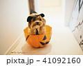 犬 ハロウィン ハロウィーンの写真 41092160
