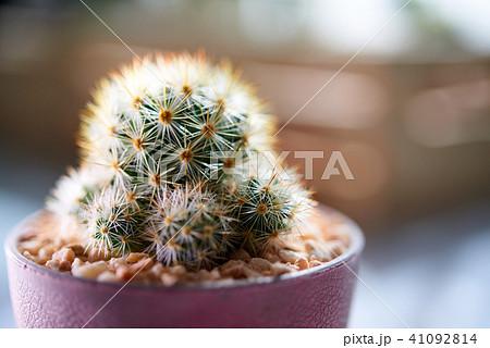 Cactus. Mammillaria giselae 41092814