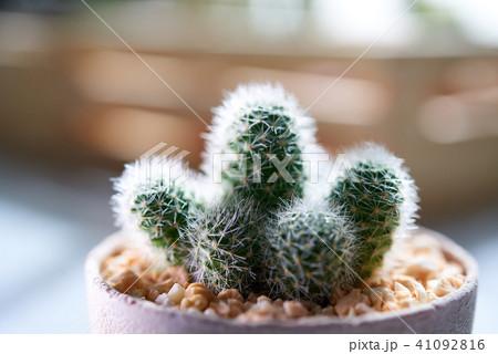 Cactus 41092816
