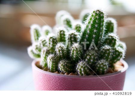 Cactus. Cereus peruvianus 41092819
