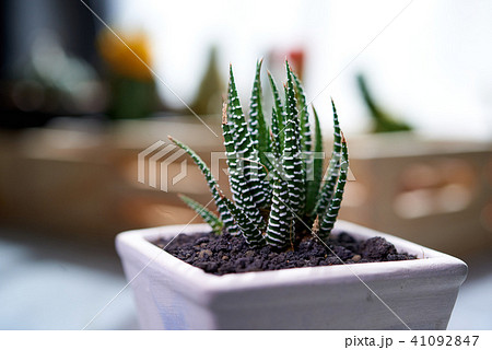 Cactus. Zebra plant propagation 41092847