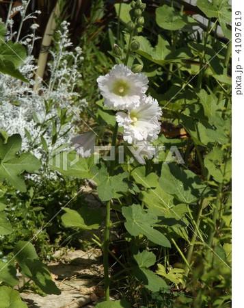 タチアオイの白い花 41097619