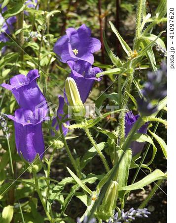 カンパニラの青い花 41097620