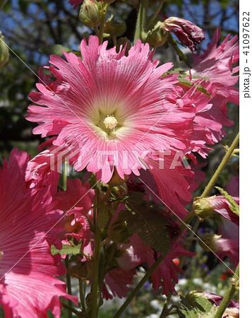 タチアオイの桃色の花 41097622