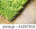 稲 苗 水田の写真 41097918