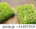 稲 苗 水田の写真 41097919