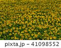 佐用町の南光ひまわり畑 41098552