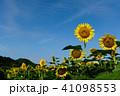 佐用町の南光ひまわり畑 41098553