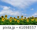 佐用町の南光ひまわり畑 41098557