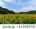 佐用町の南光ひまわり畑 41098558