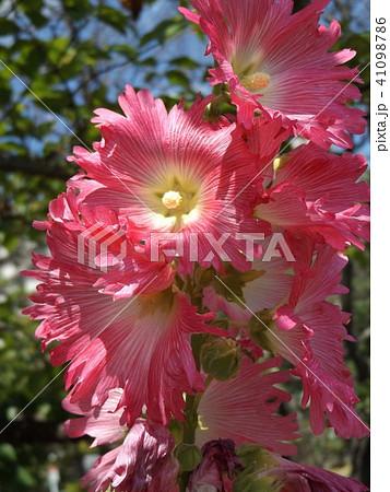 タチアオイの桃色の花 41098786